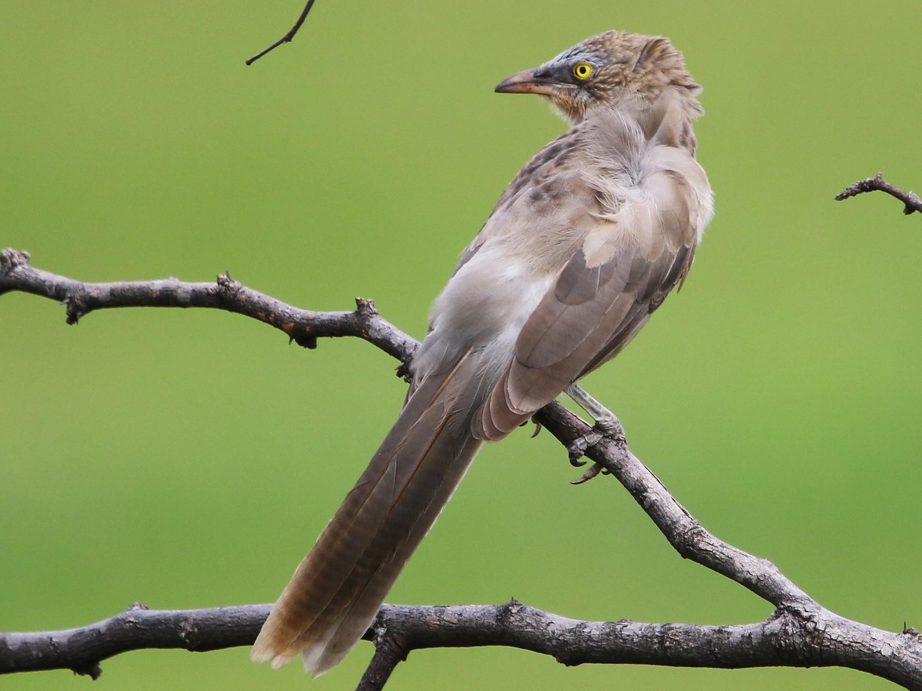 Large Gray Babbler - Bhaarat Vyas