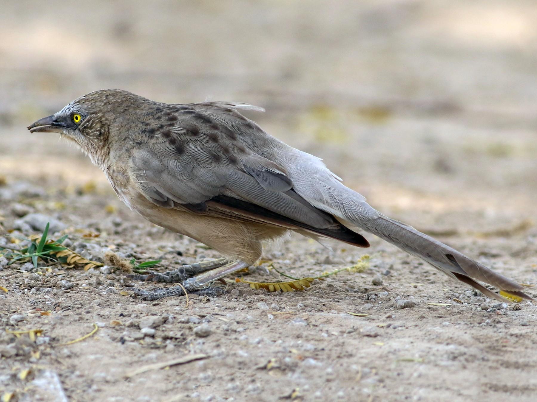 Large Gray Babbler - Kavi Nanda