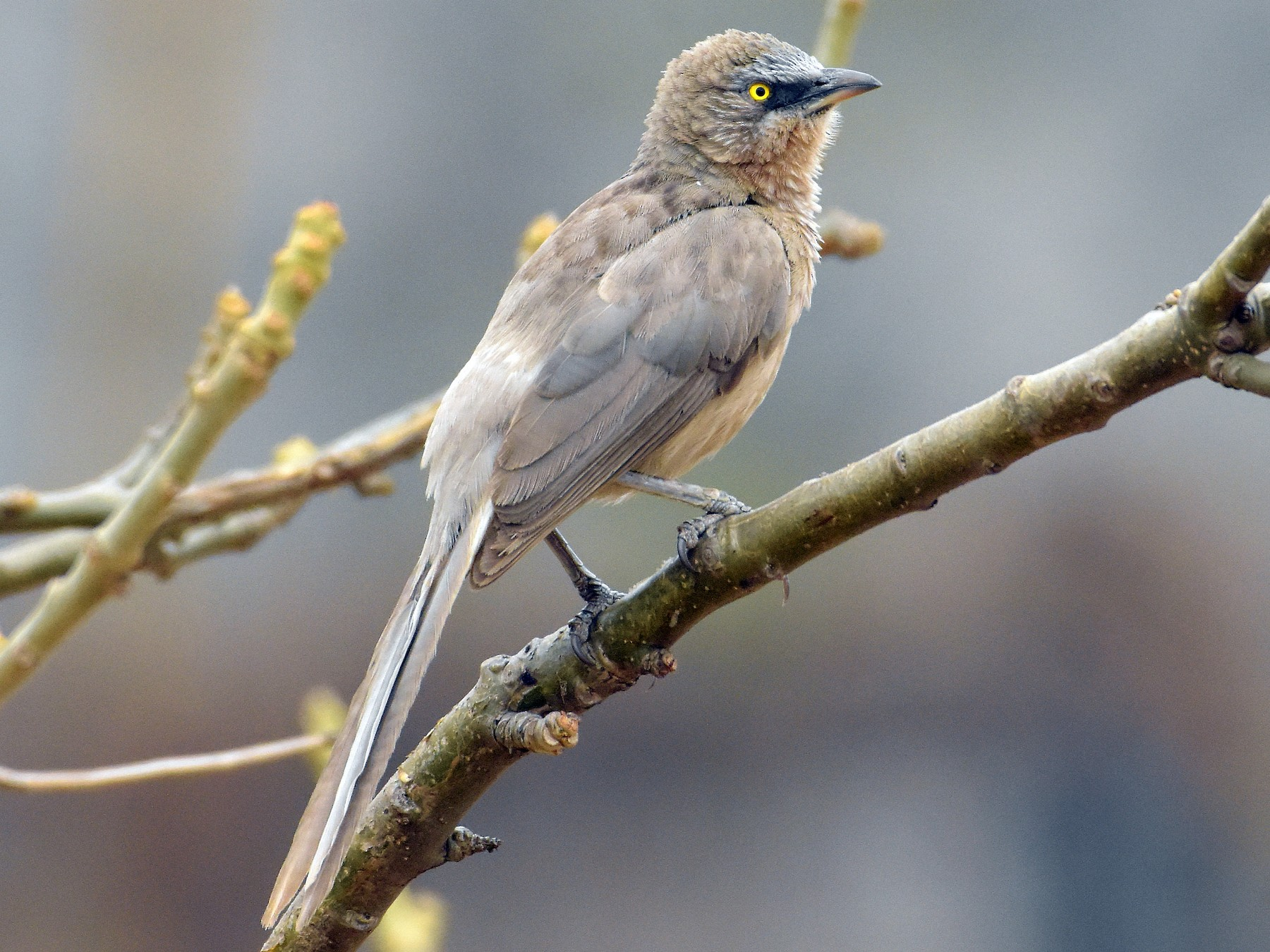Large Gray Babbler - Mayur Gawas