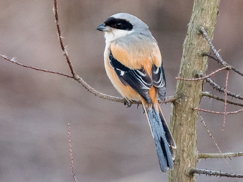 Long-tailed Shrike - Kai Pflug