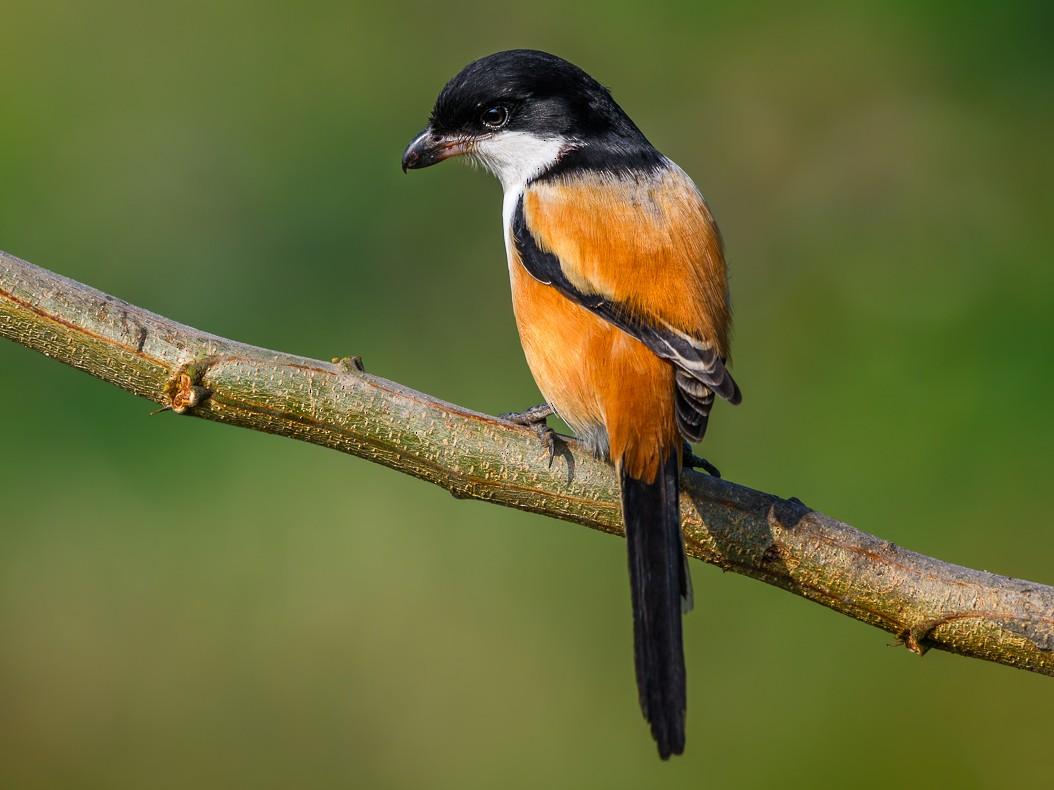 Long-tailed Shrike - Abhishek Das