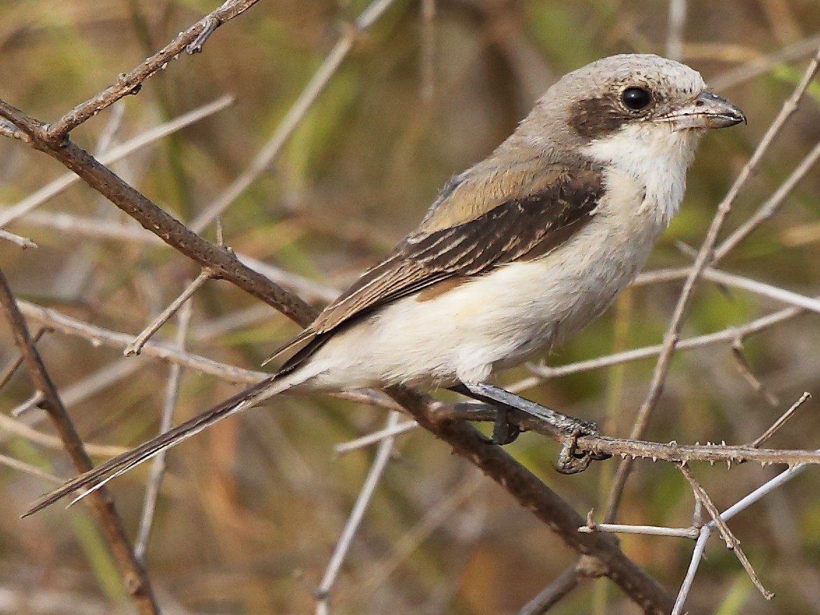 Long-tailed Shrike - Albin Jacob