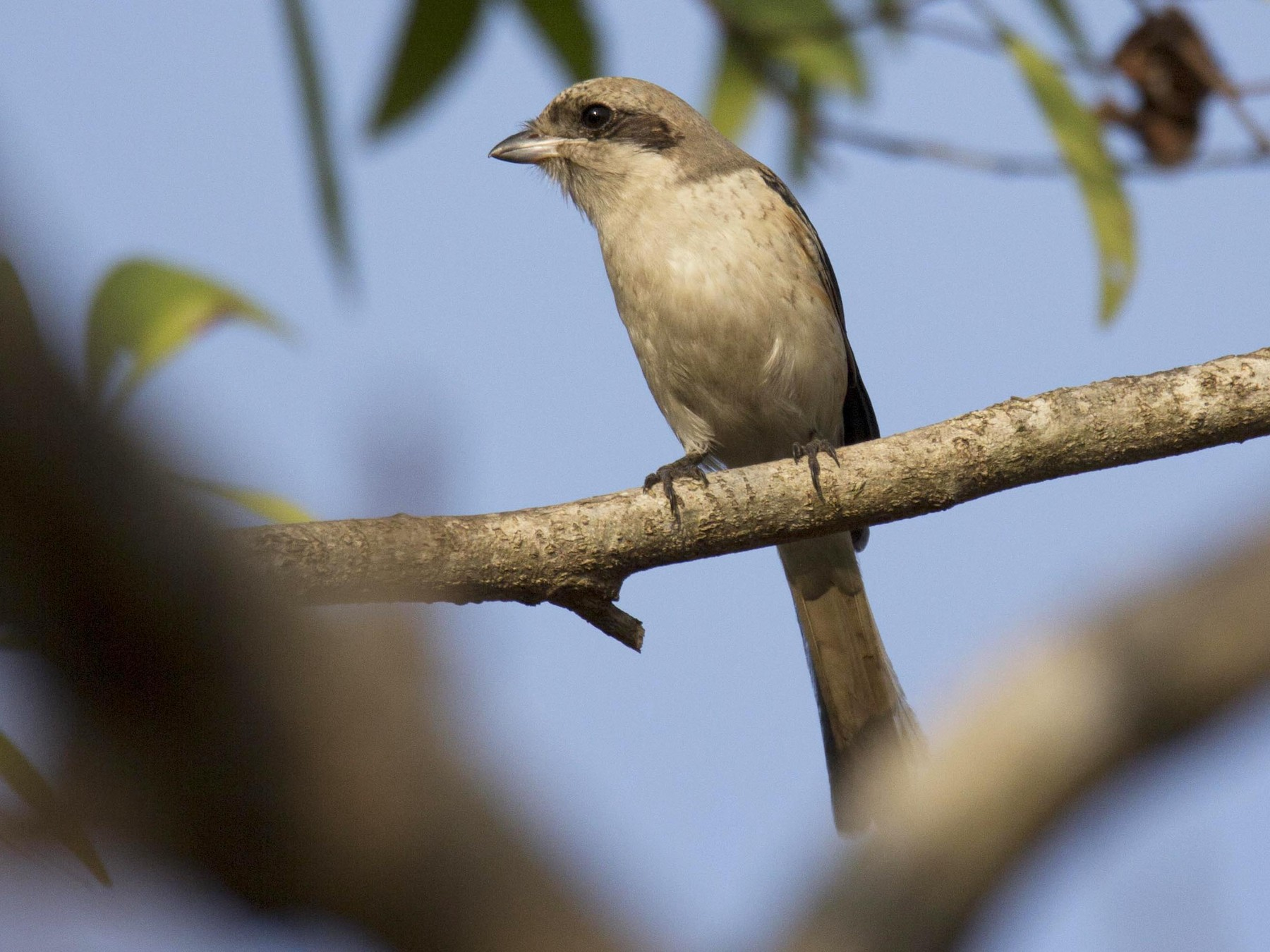 Long-tailed Shrike - Vishnu Vinod