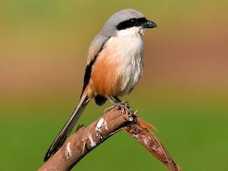 - Long-tailed Shrike