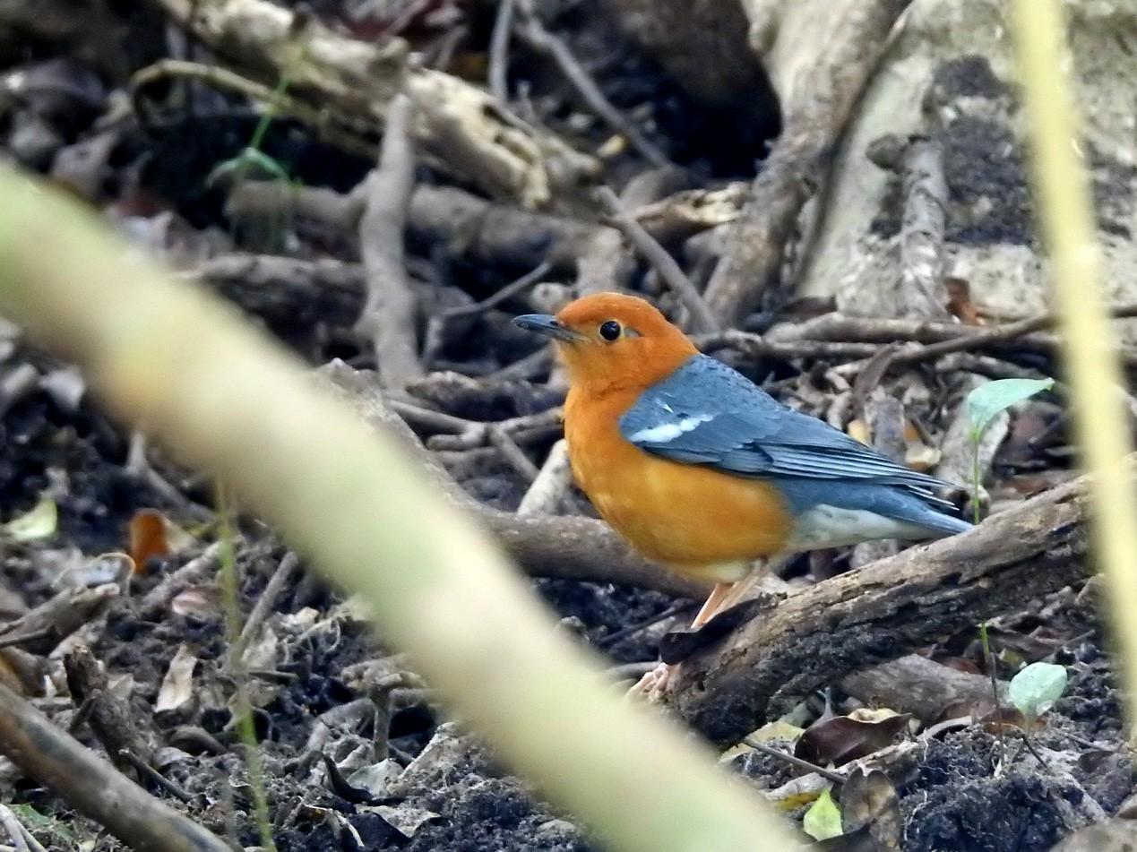 Orange-headed Thrush - Anonymous eBirder