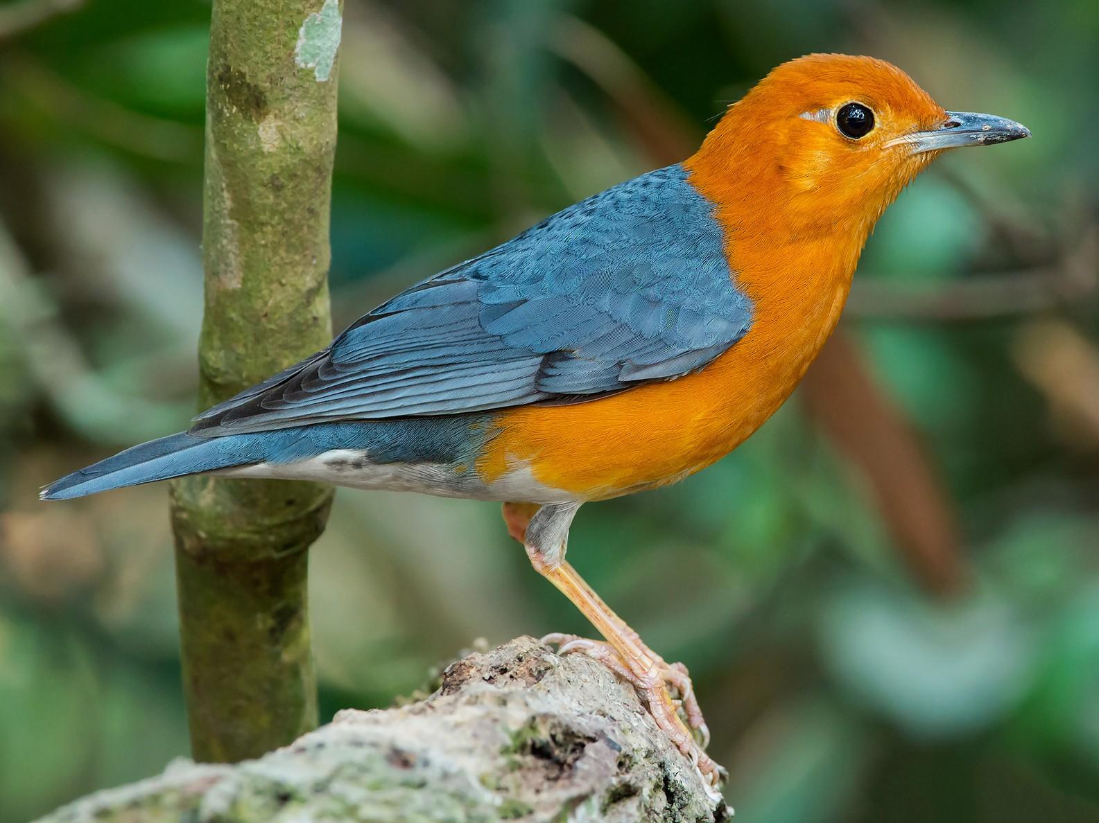 Orange-headed Thrush - eBird