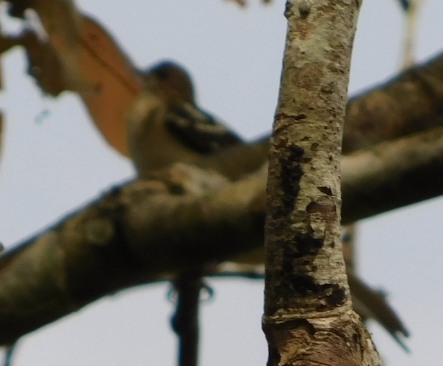 Spotted Greenbul