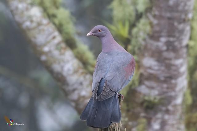 Red-billed Pigeon