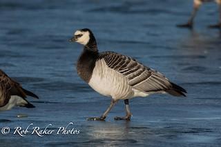 Barnacle Goose, ML133893001