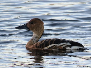 Fulvous Whistling-Duck, ML133922301