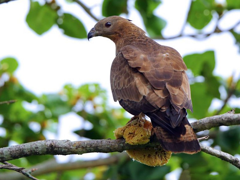 Oriental Honey-buzzard - Albin Jacob