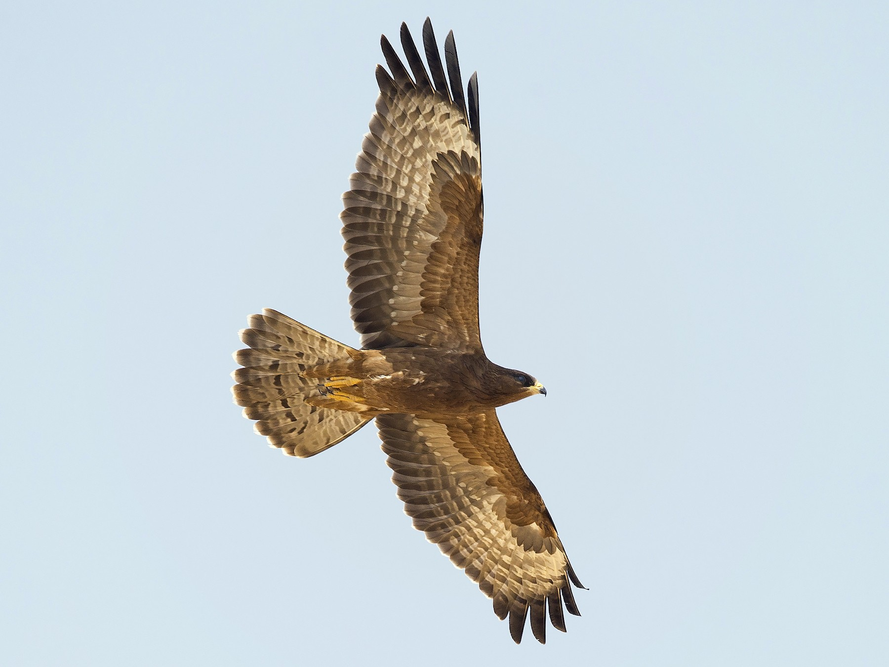Oriental Honey-buzzard - Omar alshaheen