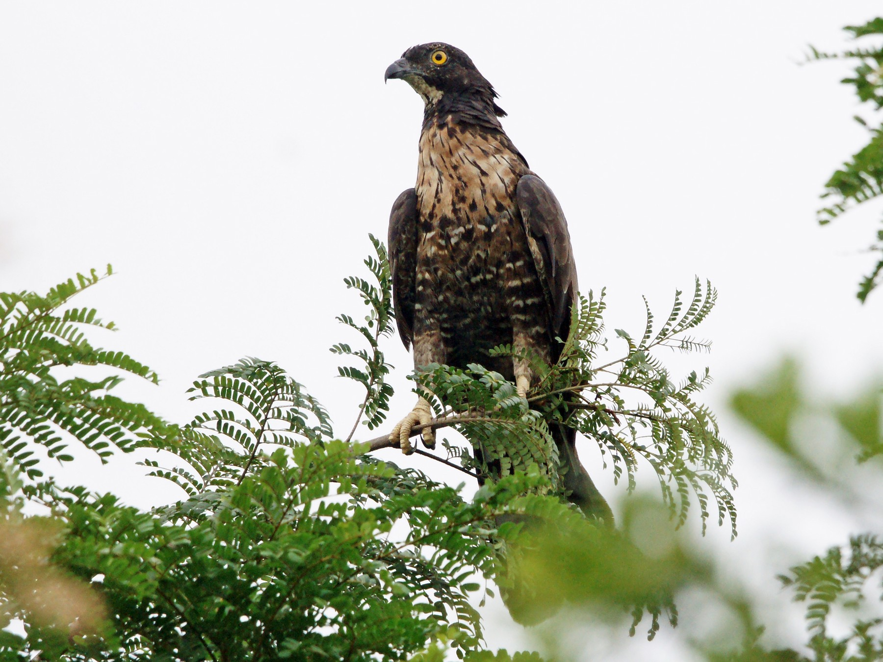 Oriental Honey-buzzard - Kian Guan Tay