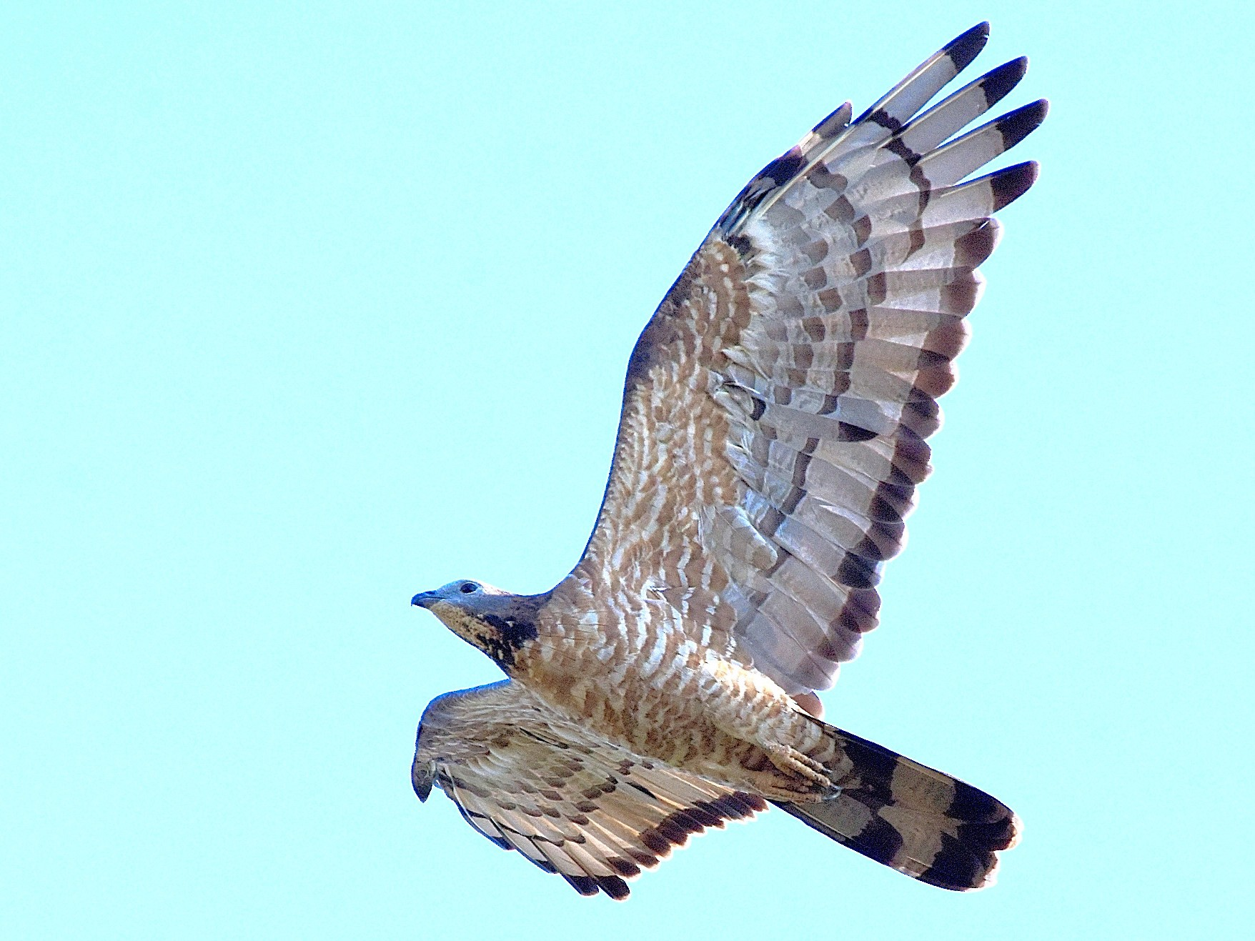 Oriental Honey-buzzard - HG Prashanthakumar
