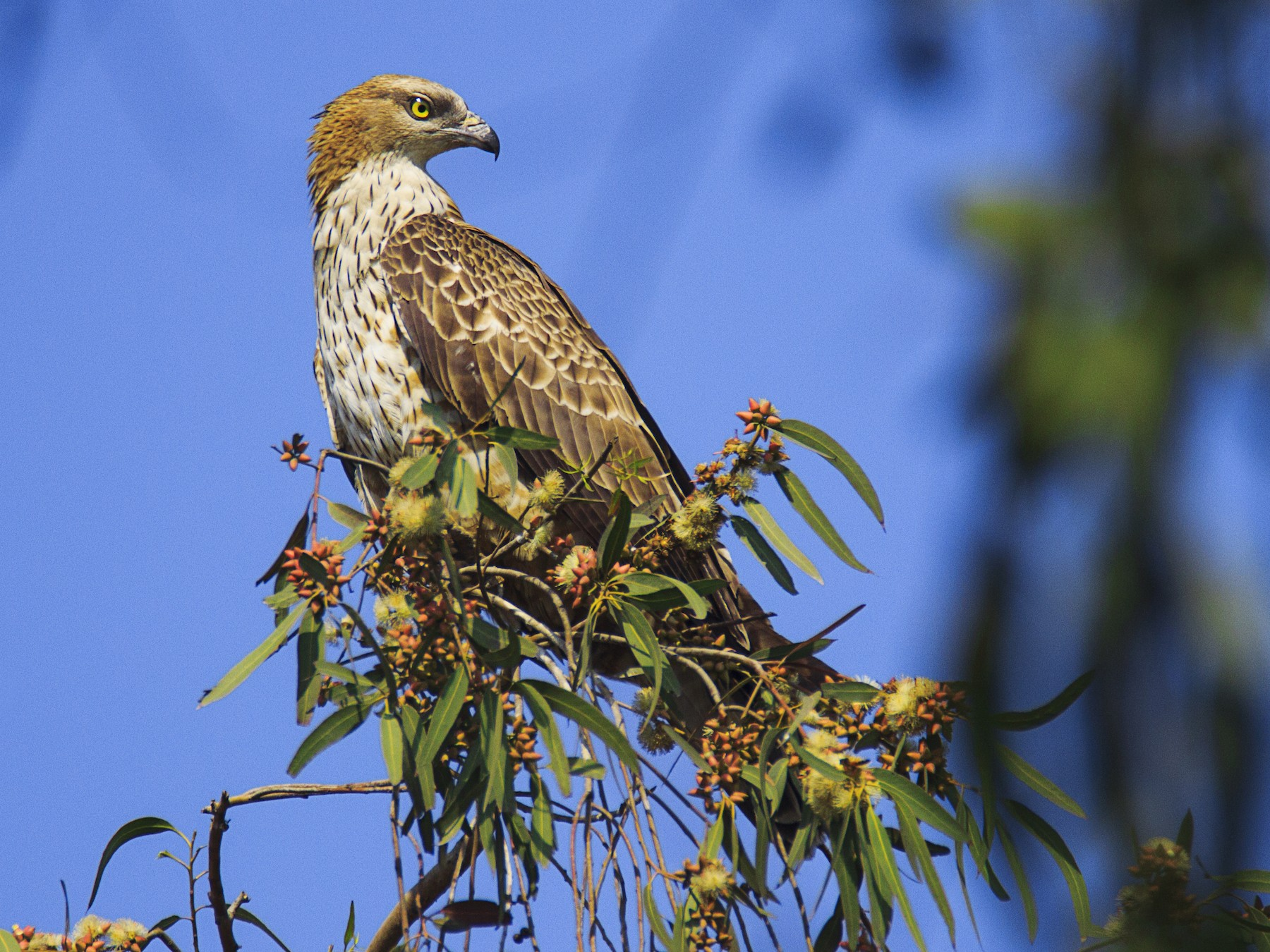 Oriental Honey-buzzard - sunil kumar