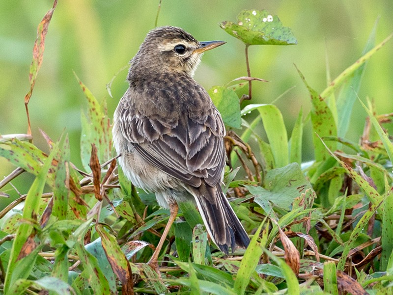 Paddyfield Pipit - Forest Jarvis