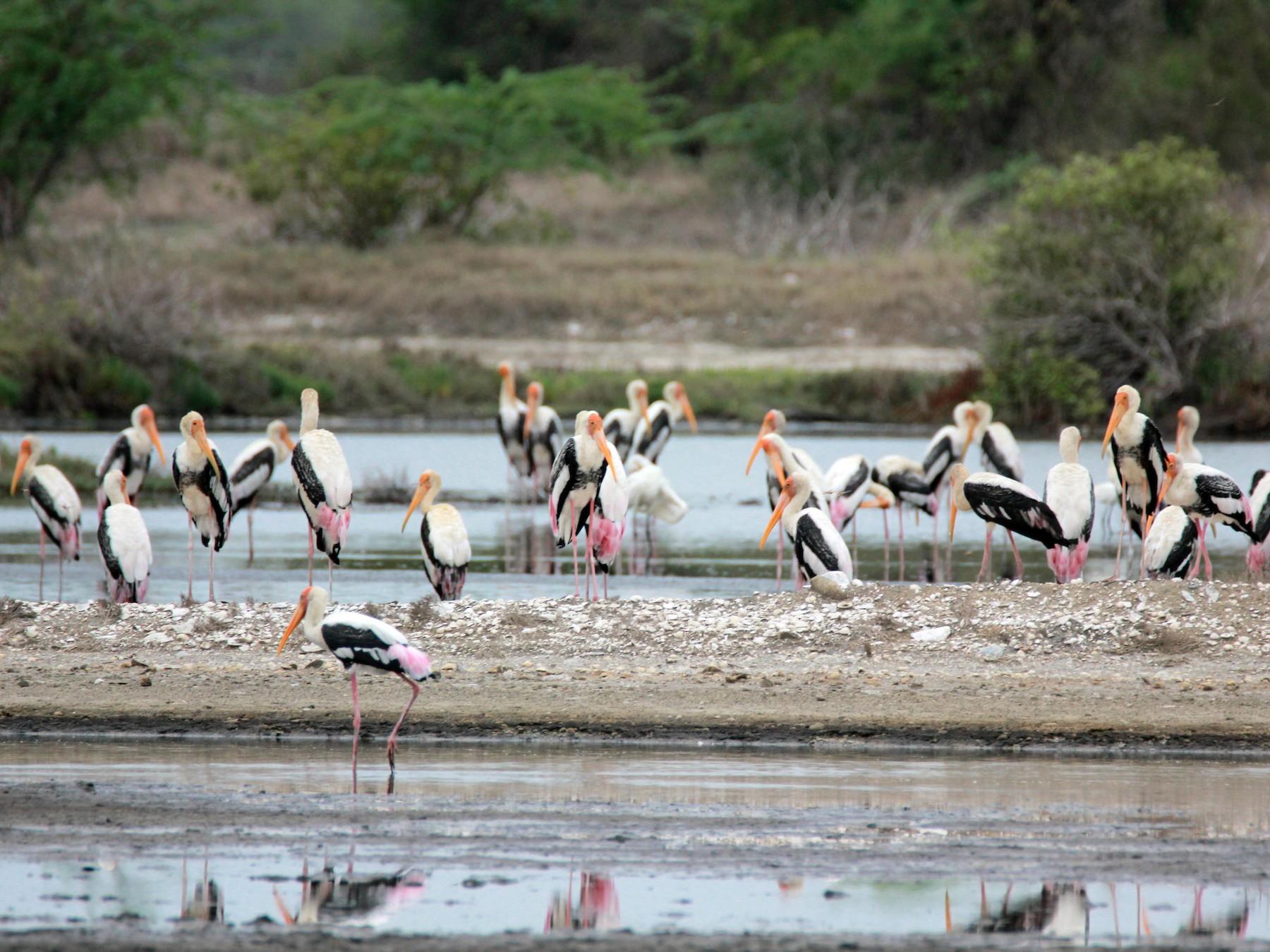 Painted Stork - Shanmugam Saravanan