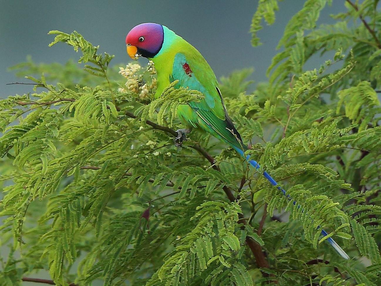 Plum-headed Parakeet - Albin Jacob