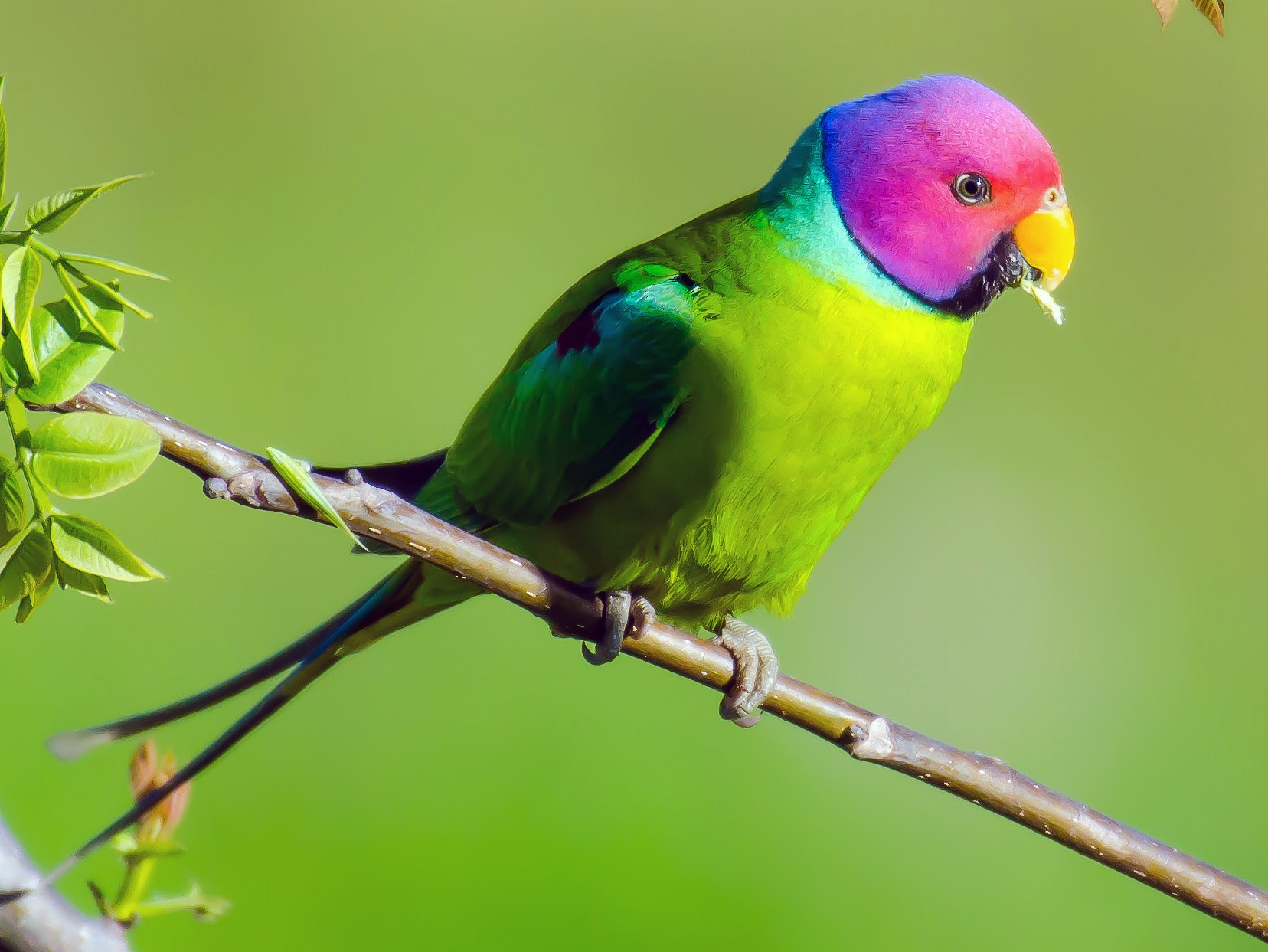 Plum-headed Parakeet - Mohinder Singh Jamwal
