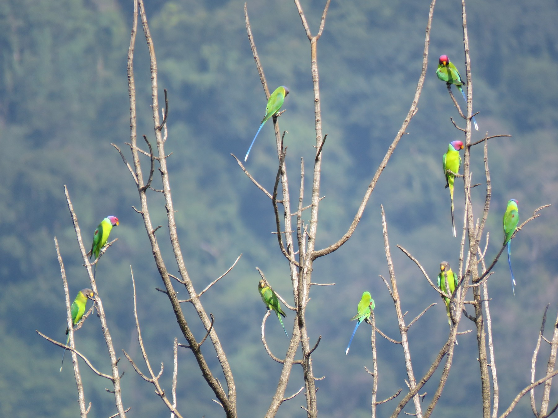 Plum-headed Parakeet - Selvaganesh K