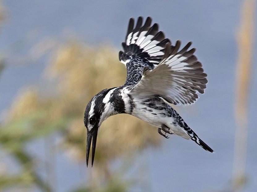 Pied Kingfisher - Yoav Perlman