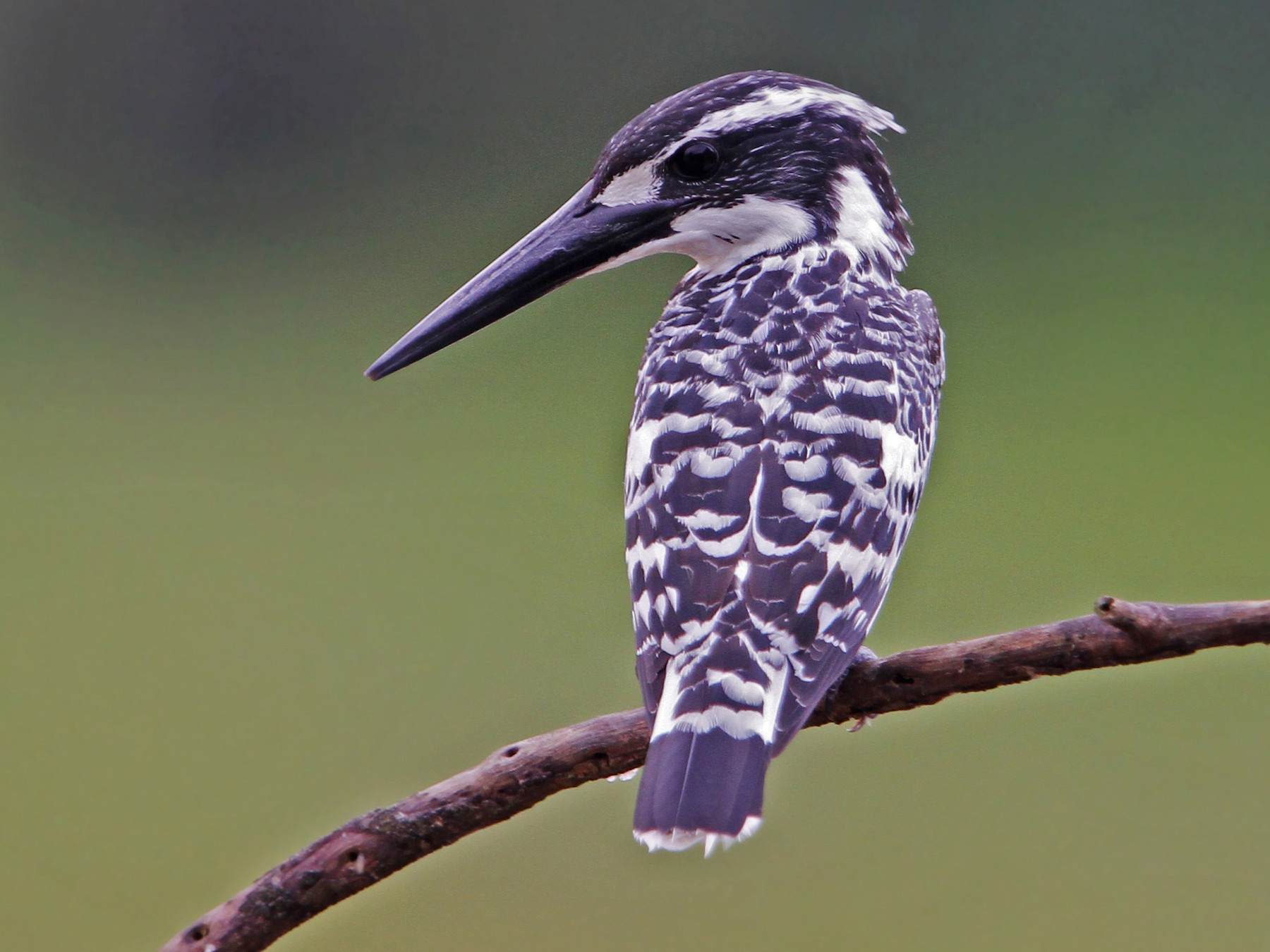 Pied Kingfisher - Christoph Moning