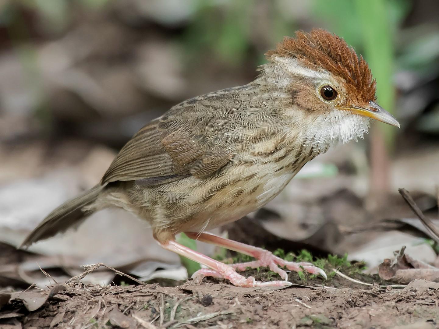 Puff-throated Babbler - Natthaphat Chotjuckdikul
