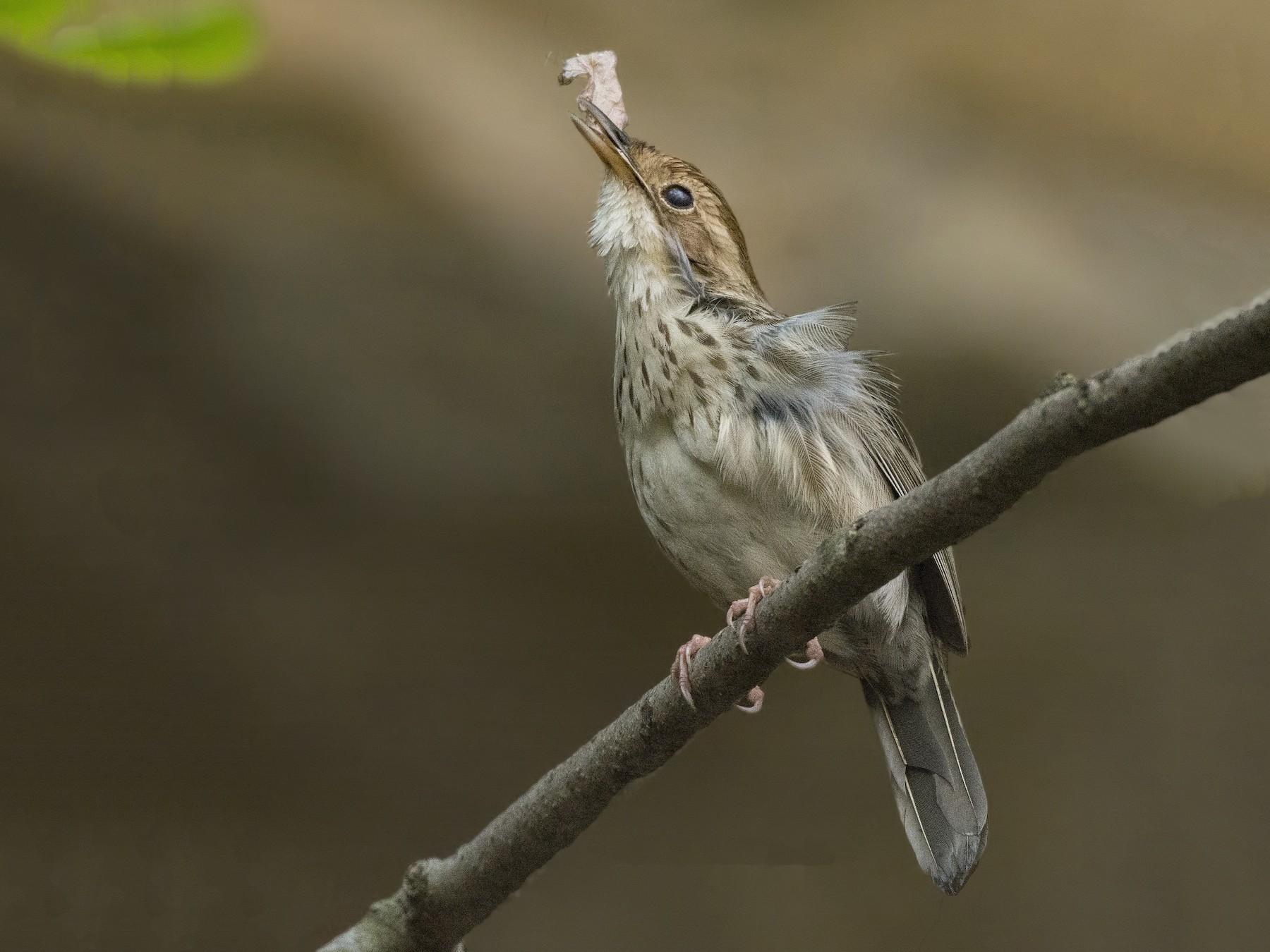 Puff-throated Babbler - Subrata Kool