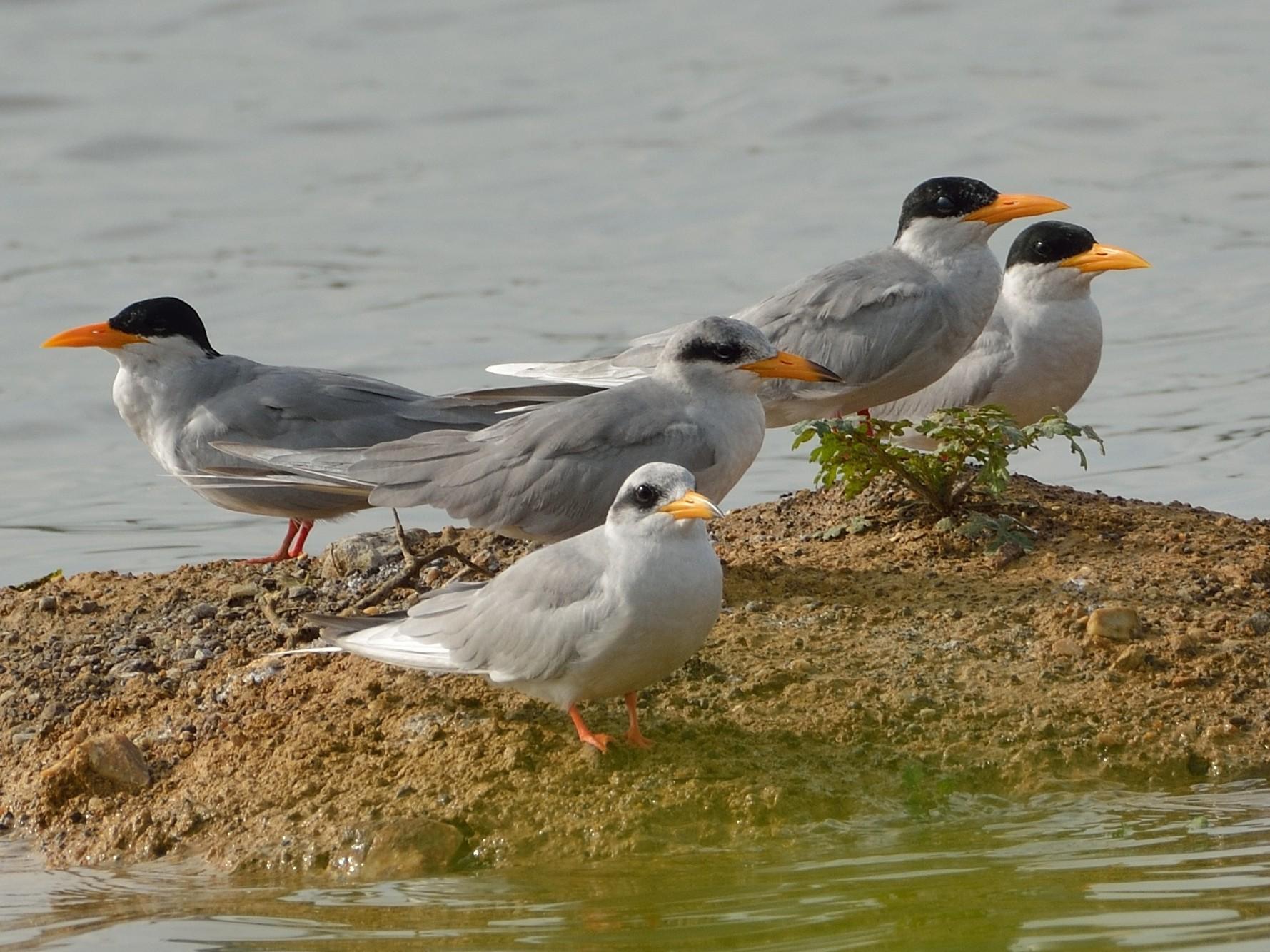 River Tern - Sanjay Malik