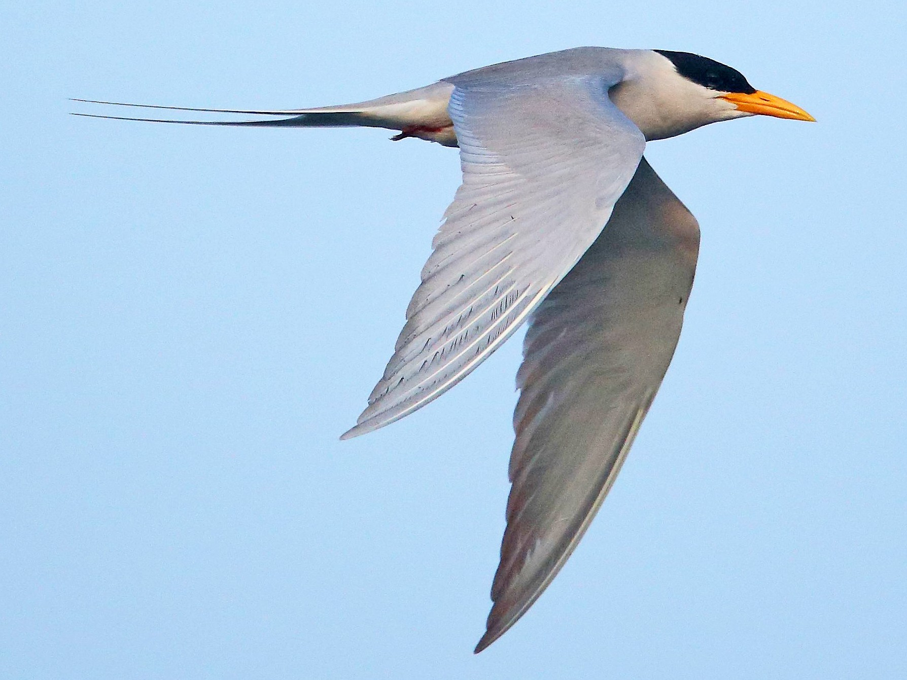 River Tern - Albin Jacob
