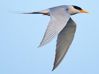 - River Tern