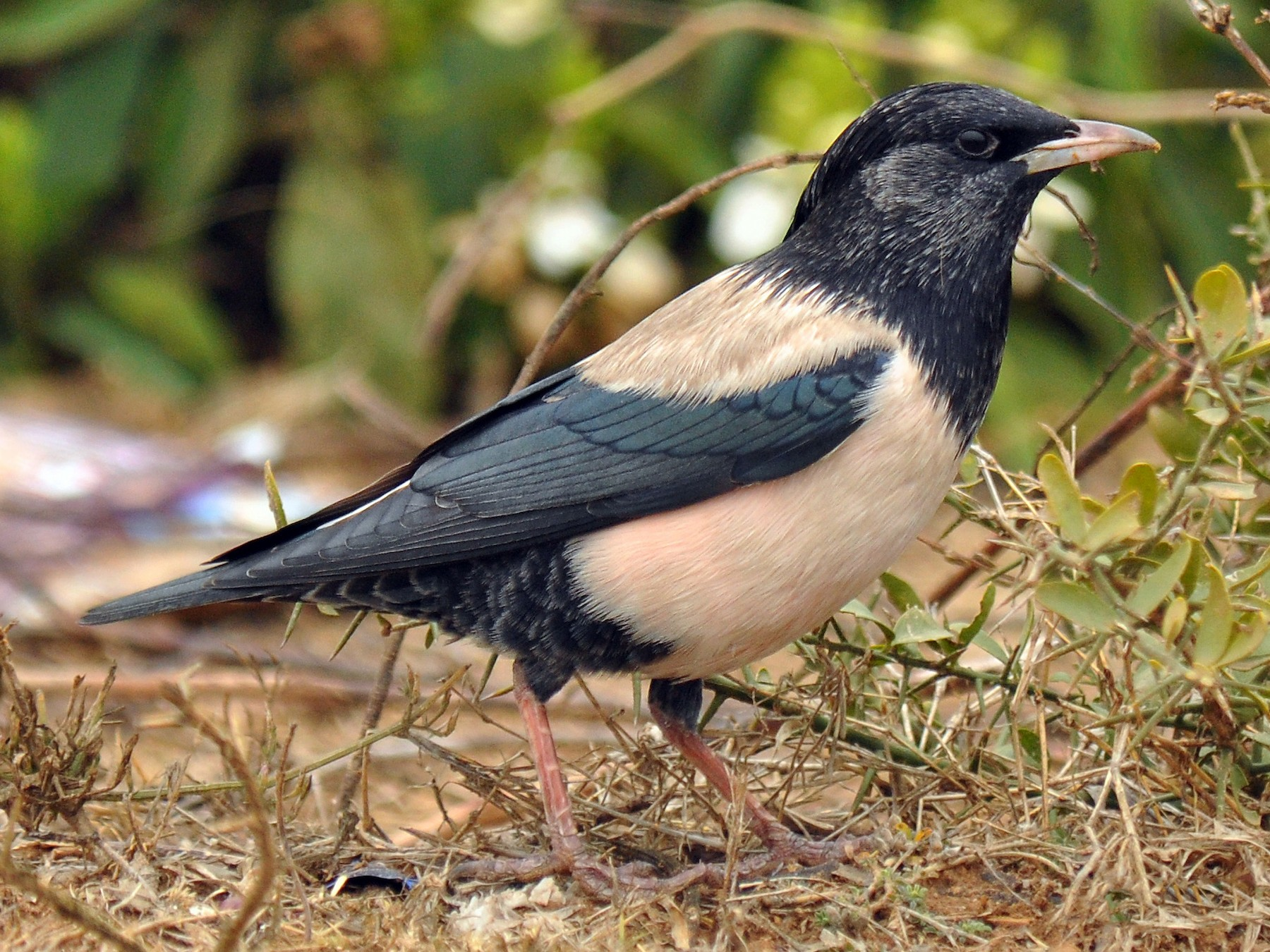Rosy Starling - Ryan O'Donnell