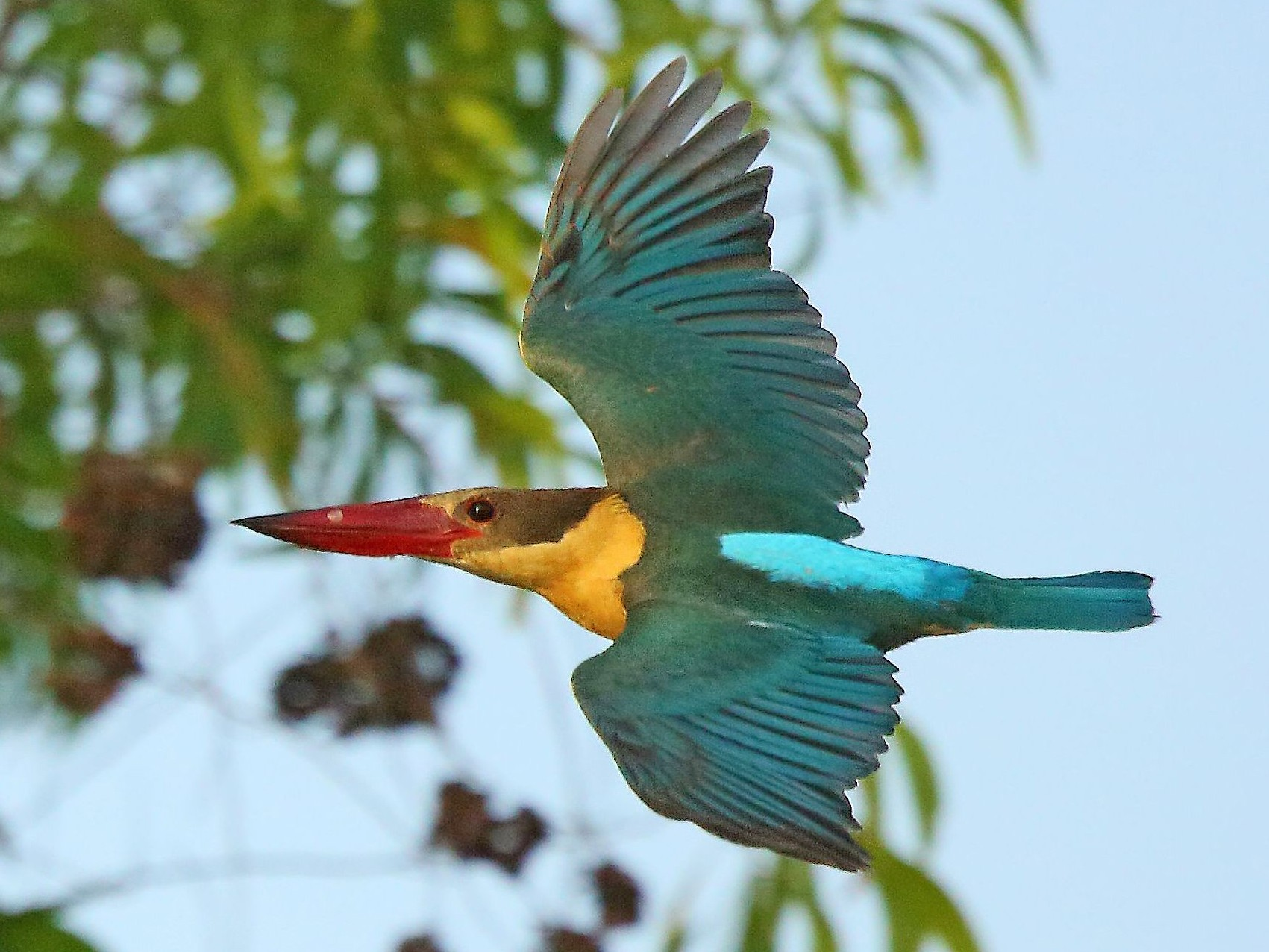 Stork-billed Kingfisher - Albin Jacob