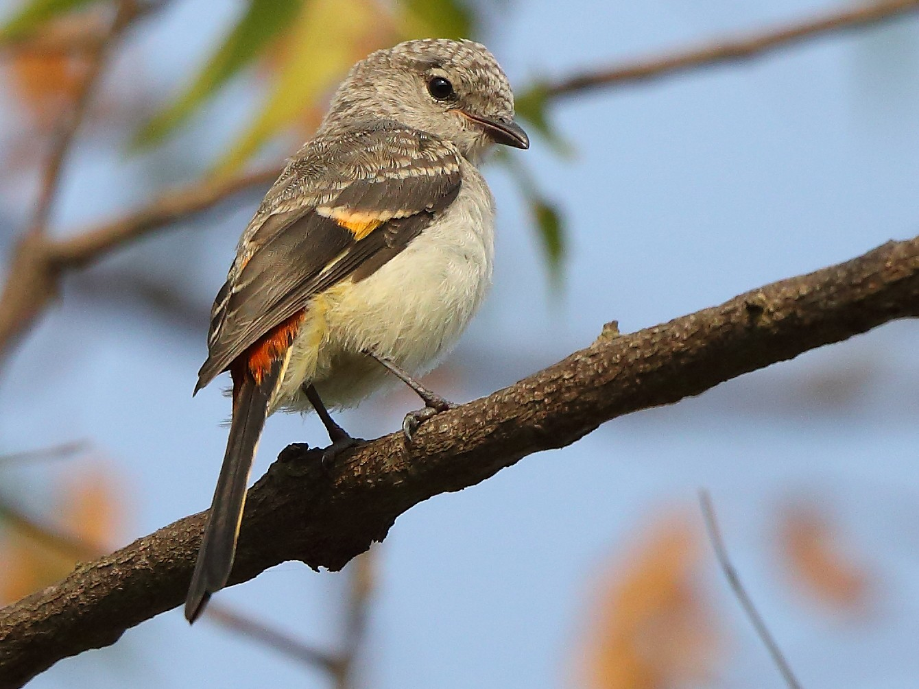 Small Minivet - Albin Jacob