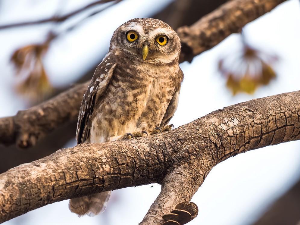 Spotted Owlet - Abhishek Das