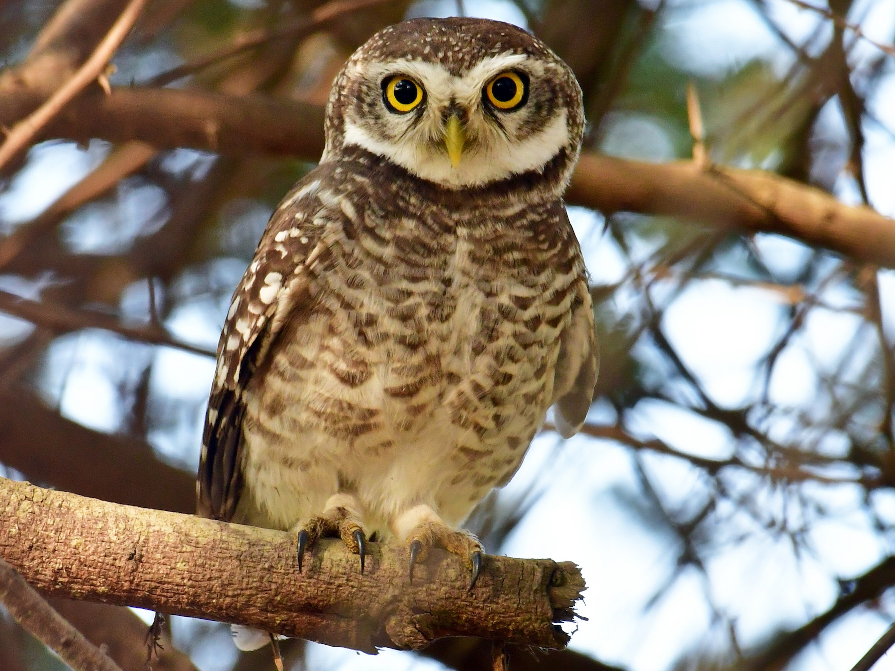 Spotted Owlet - Anirudh Kamakeri
