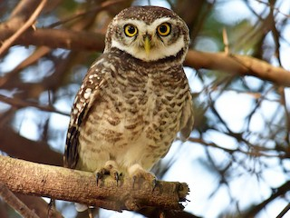 - Spotted Owlet