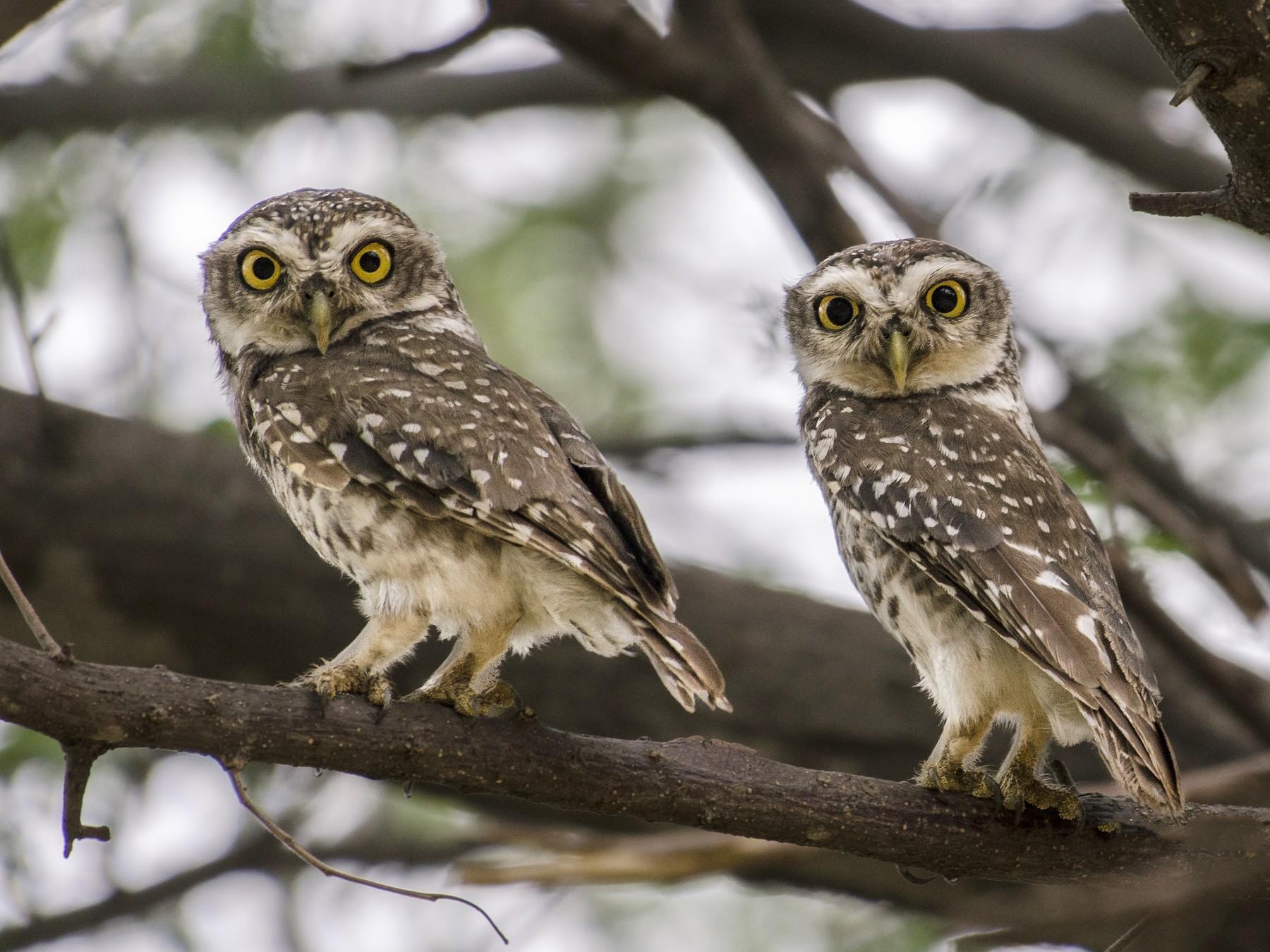 Spotted Owlet - Abhiram Sankar