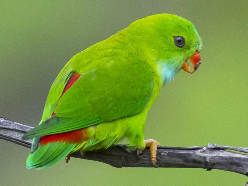 Vernal Hanging-Parrot - Rudraksha Chodankar