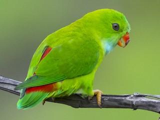- Vernal Hanging-Parrot