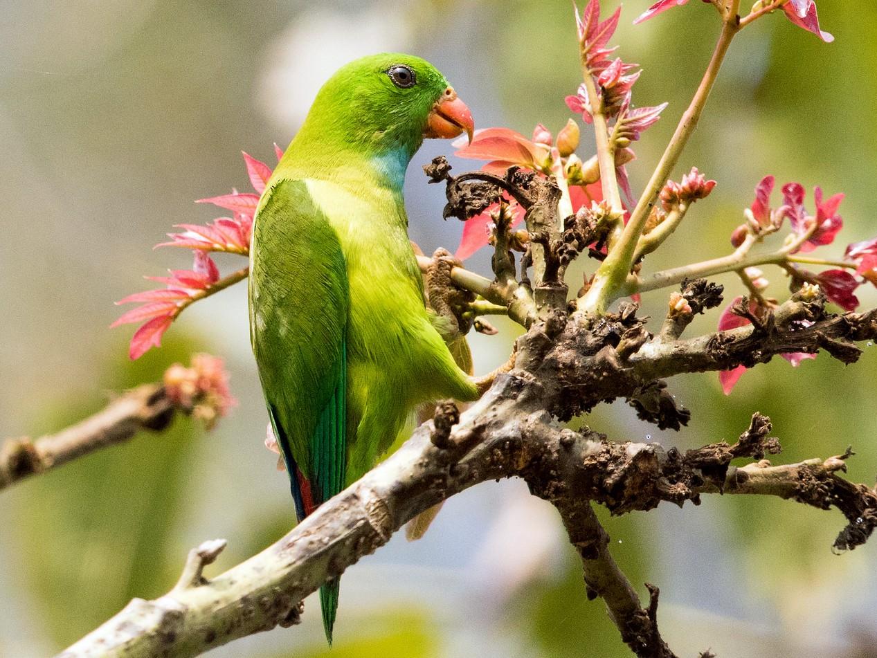 Vernal Hanging-Parrot - Kumar RR