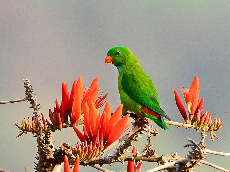 Vernal Hanging-Parrot - Prashobh Ailyam Nair