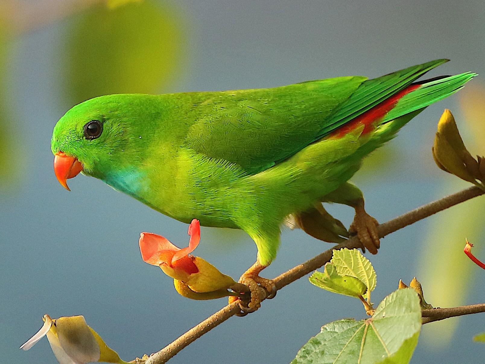 Vernal Hanging-Parrot - Savio Fonseca (www.avocet-peregrine.com)