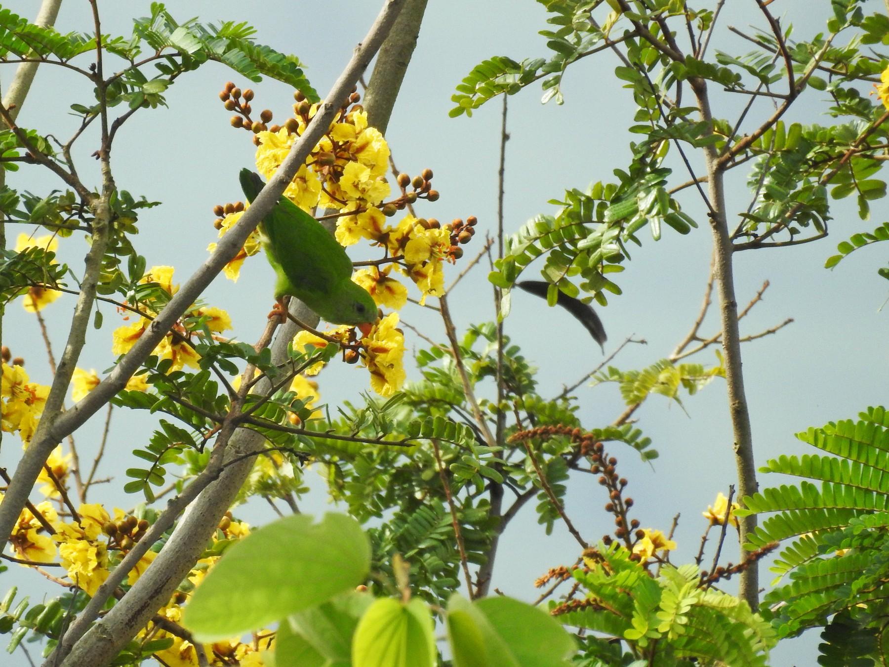 Vernal Hanging-Parrot - Abhijeet Rasal