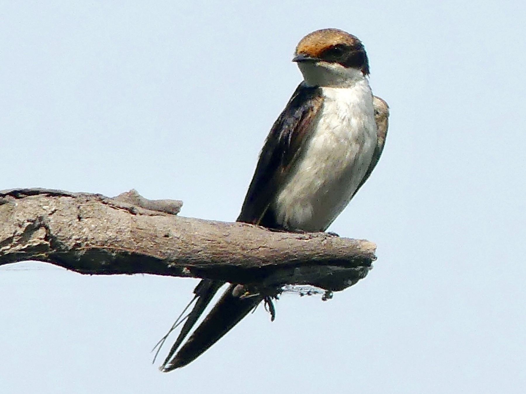 Wire-tailed Swallow - Sally Knight