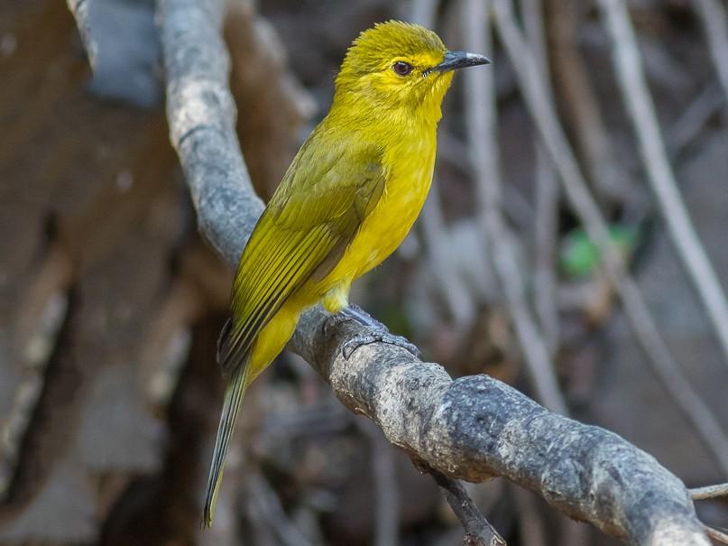 Yellow-browed Bulbul - Rudraksha Chodankar