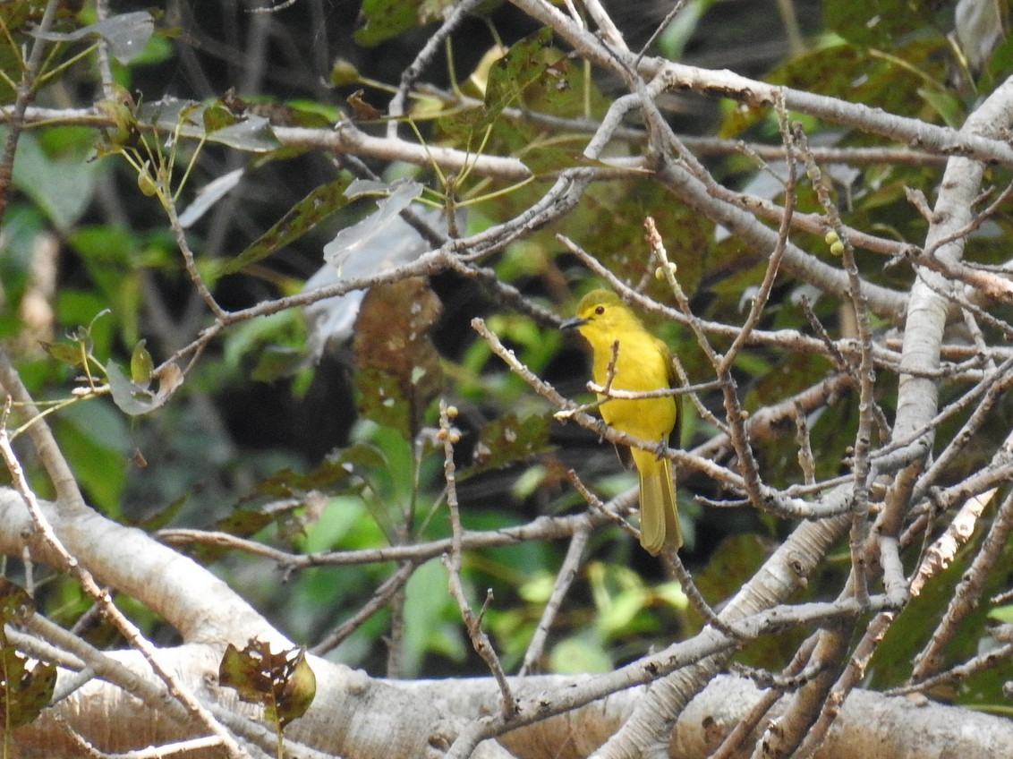 Yellow-browed Bulbul - Anonymous eBirder