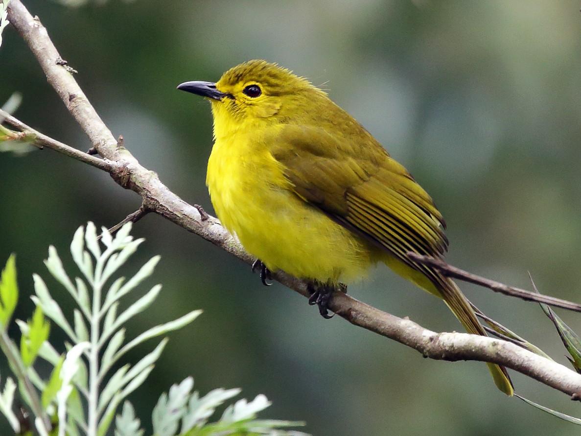 Yellow-browed Bulbul - Rahul  Singh