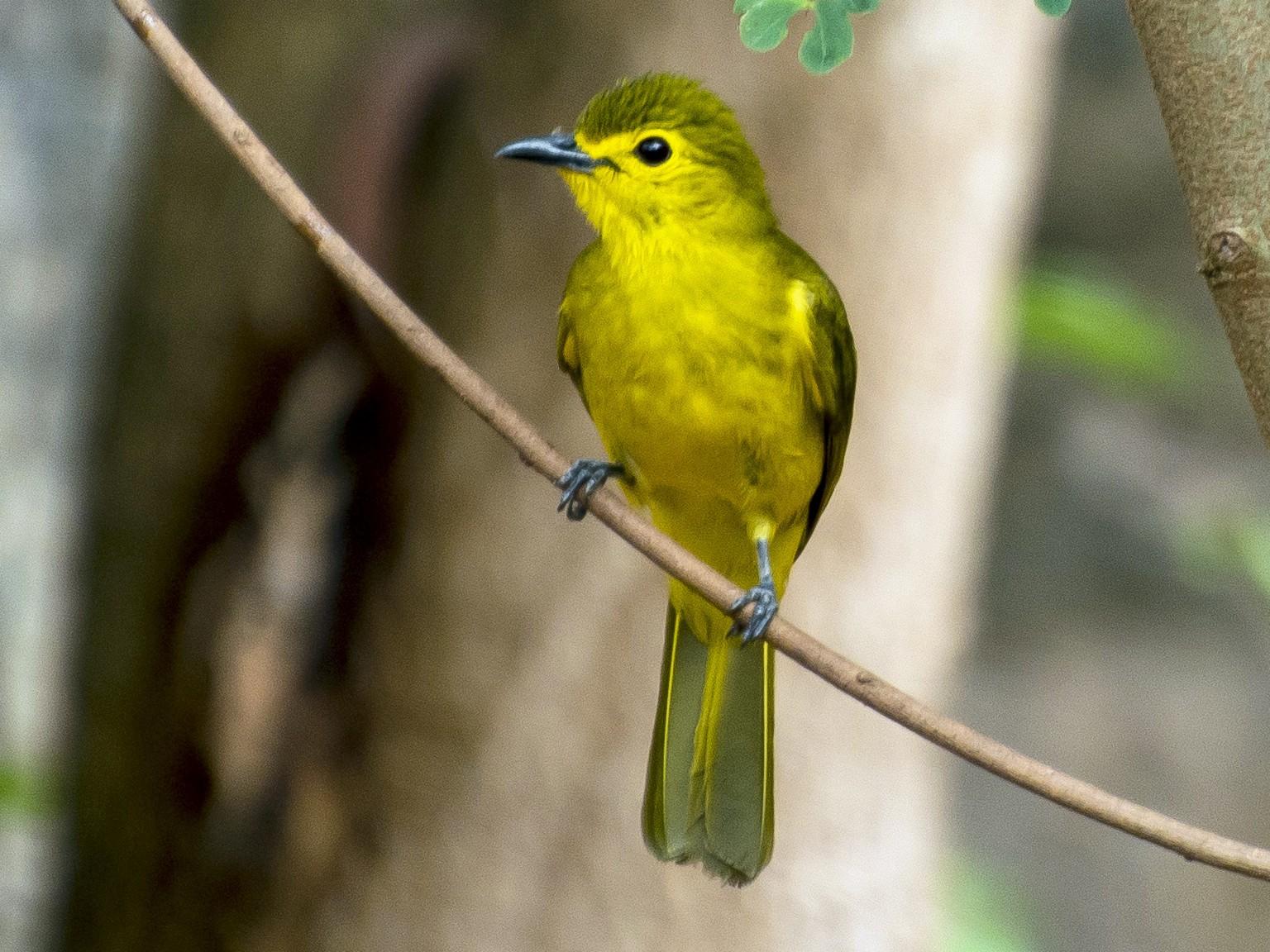 Yellow-browed Bulbul - Shagil Kannur