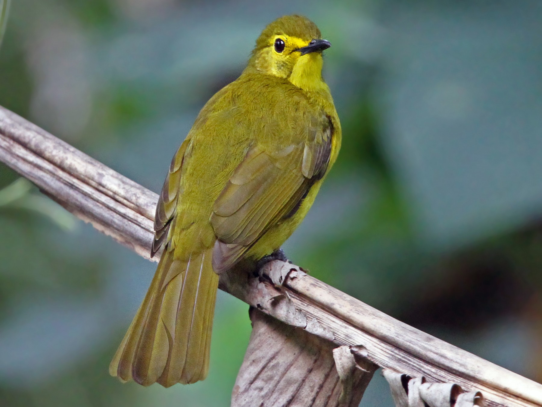 Yellow-browed Bulbul - Christoph Moning